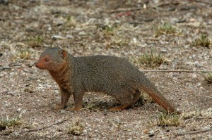 List o' 10 Predators in Sheep's Clothing: mongoose