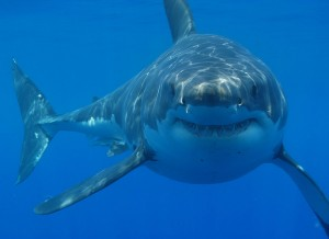 List o' Top 10 World's Most Dangerous Animals - shark