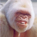 random animal pictures - smiling ape