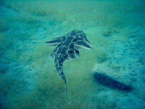 List o' 10 Recently Extinct Animals - Angel Shark