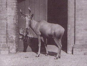 List o' 10 Recently Extinct Animals - Bubal Hartebeest
