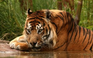 List o' 10 Recently Extinct Animals - Javan Tiger