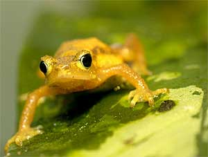 List o' 10 Recently Extinct Animals - Kihansi Spray Toad