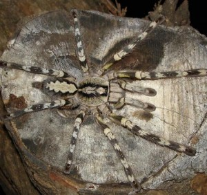 List o' 10 Endangered Animals - Rameshwaram Parachute Spider