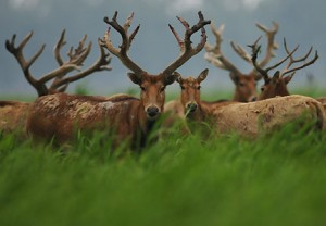 List o' 10 Recently Extinct Animals - Pere David Deer