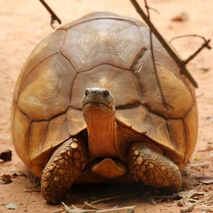 List o' 10 Endangered Animals - Ploughshare Tortoise