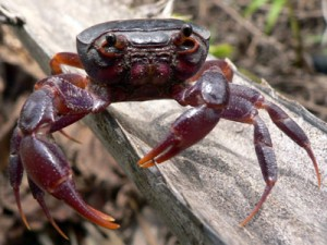 List o' 10 Endangered Animals - Purple Marsh Crab