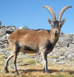 List o' 10 Recently Extinct Animals - Pyrenean Ibex