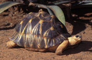 List o' 10 Endangered Animals - Radiated Tortoise