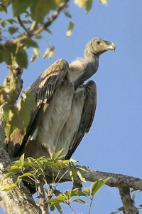 List o' 10 Recently Extinct Animals - Slender Billed Vulture