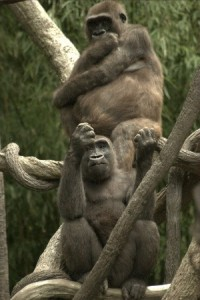 List o' 10 Endangered Animals - Western lowland gorilla