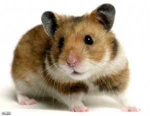 Cute little hamster buddy