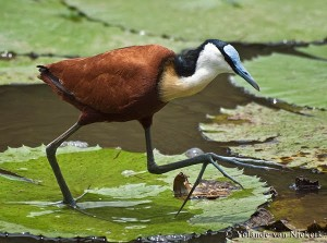 Top Ten List Animal Dads - Jacana