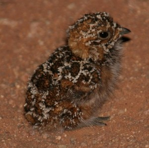 Namaqua Sandgrouse Fledgling