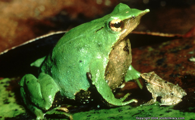 Top Ten List Animal Dads - darwins frog