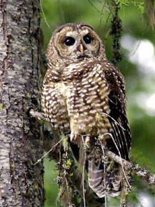 great hornbilled owl