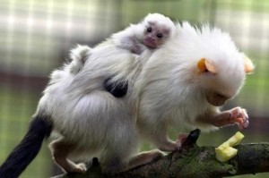 Top Ten List Animal Dads - Marmoset