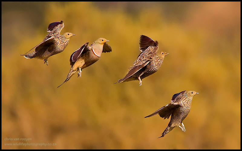 namaqua_sandgrouse