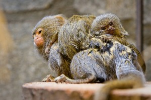 pygmy marmoset_father with baby