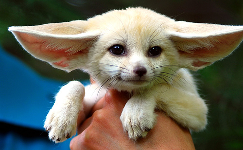 List O' Top Ten Exotic Animals Kept As Pets - fennec fox