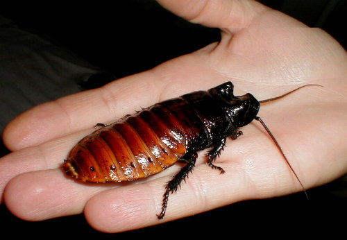 List O' Top Ten Exotic Animals Kept As Pets - Madagascar hissing cockroach
