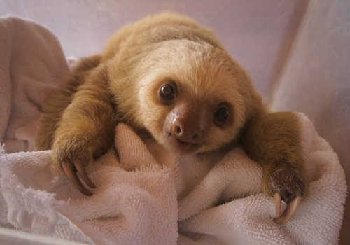 List O' Top Ten Exotic Animals Kept As Pets - sloth