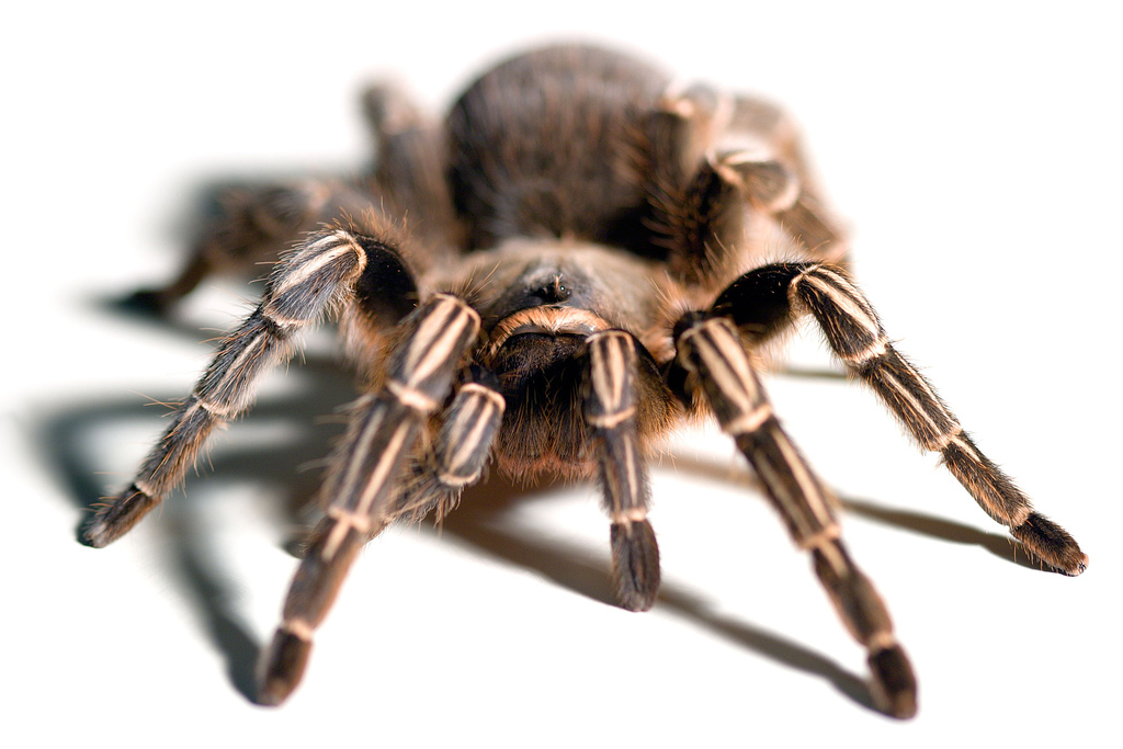 List O' Top Ten Exotic Animals Kept As Pets - tarantula