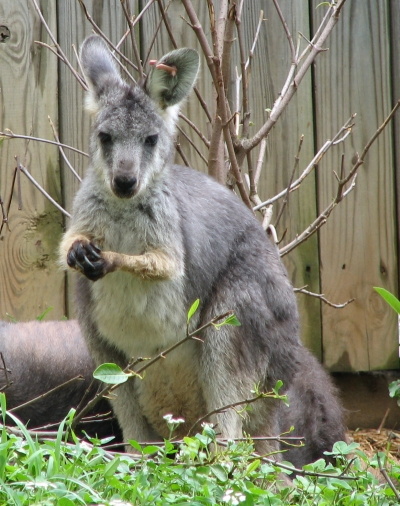 List O' Top Ten Exotic Animals Kept As Pets - wallaroo