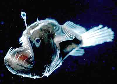 top ten list-List O' Ten Amazing Bio-Luminescent Lifeforms-Anglerfish