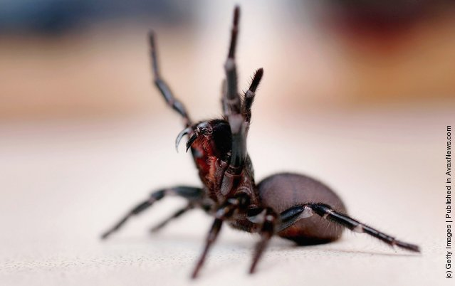 List of top ten Deadly Australian Animals-Australian funnel web spider