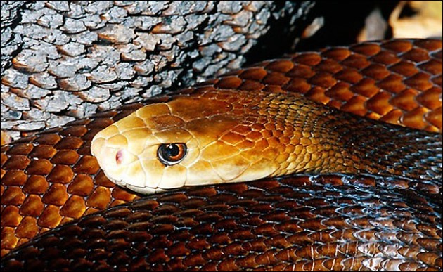 List of top ten deadliest Australian animals-Coastal-Taipan