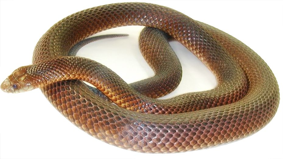 List of top ten Deadly Australian Animals-Australian King_Brown_Snake