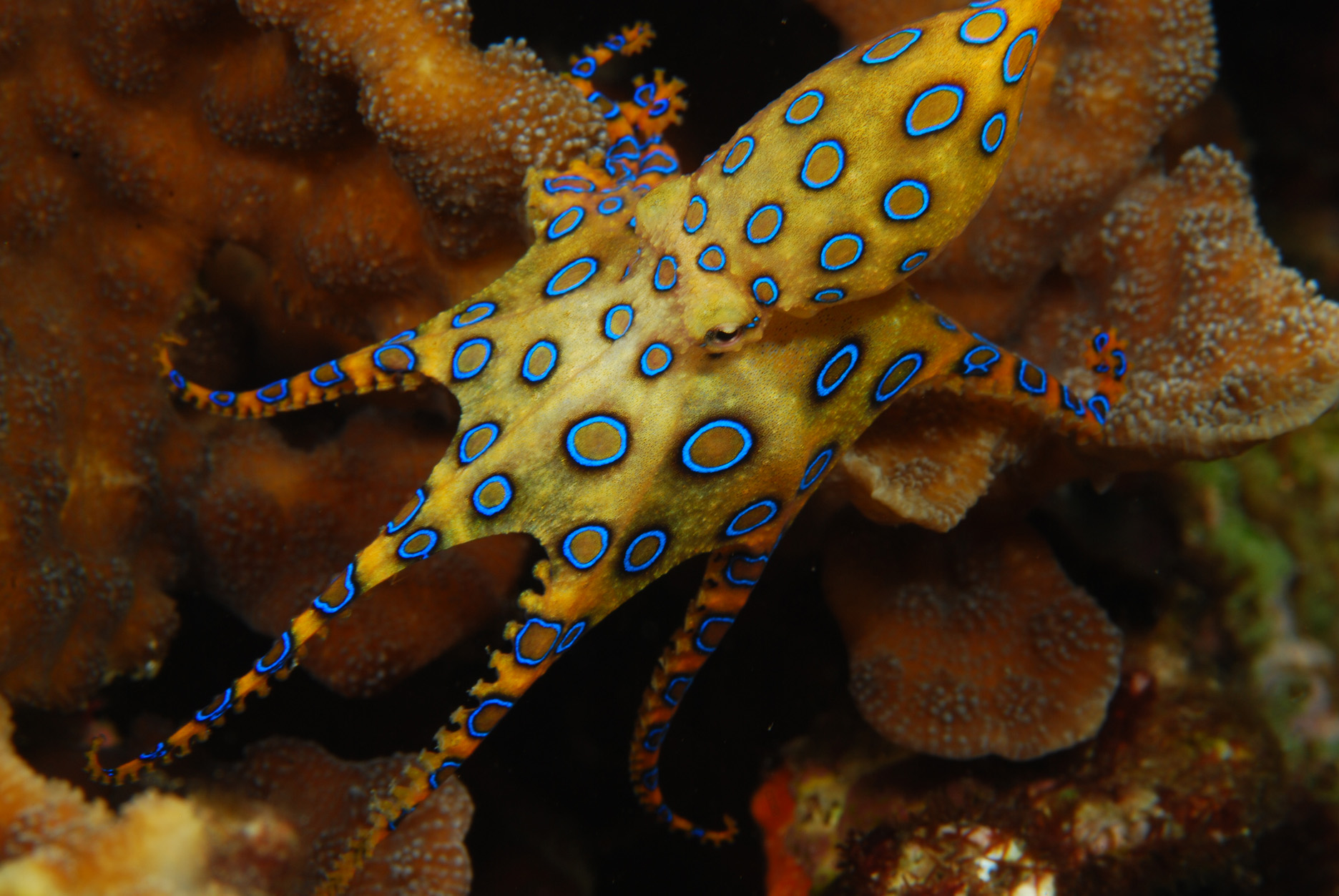 List of top ten Deadly Australian Animals-blue-ringed-octopus