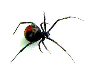 List of top ten Deadly Australian Animals-redback-spider