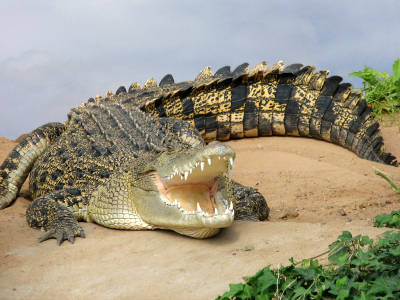List of top ten Deadly Australian Animals-saltwater crocodile