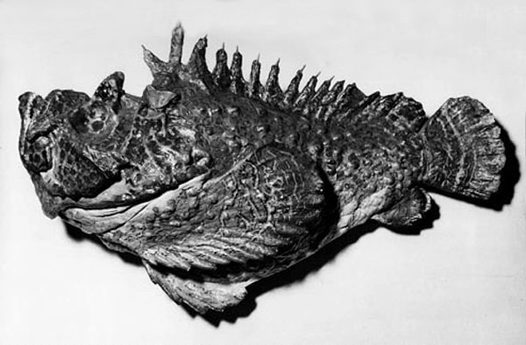 List of top ten Deadly Australian Animals-Australian stonefish